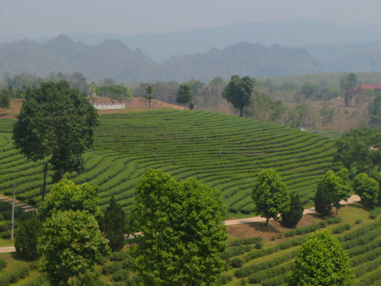 Tea plantations in northern Thailand